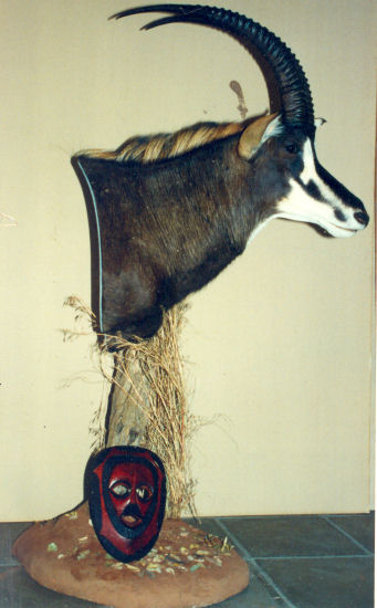 sable antelope Hunter Trophy | sable antelope  Taxidermy Wall Mounts - South Africa | Taxidermy For The Hunting Enthusiast