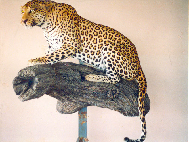 Leopard Hunter Trophy | Leopard Taxidermy Wall Mounts - South Africa | Taxidermy For The Hunting Enthusiast