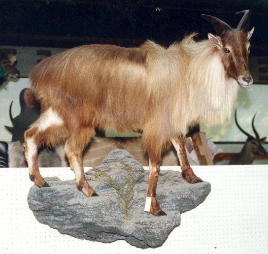 Mountain Goat Trophy Mountain Goat Taxidermy Wall Mounts