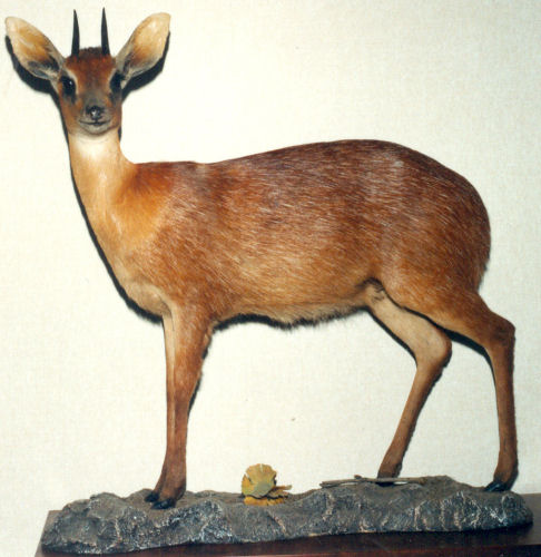 Duiker Hunter Trophy | duiker Taxidermy & Wall Mounts - South Africa | Taxidermy For The Hunting Enthusiast