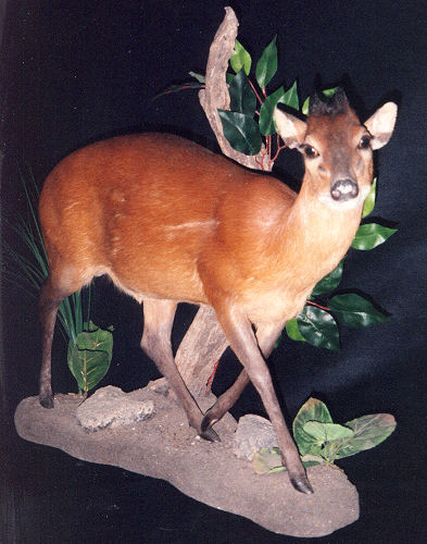 Duiker Hunter Trophy | Duiker Taxidermy Wall Mounts - South Africa | Taxidermy For The Hunting Enthusiast