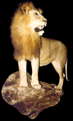 Lion Hunter Trophy | Lion Taxidermy Wall Mounts - South Africa | Taxidermy For The Hunting Enthusiast