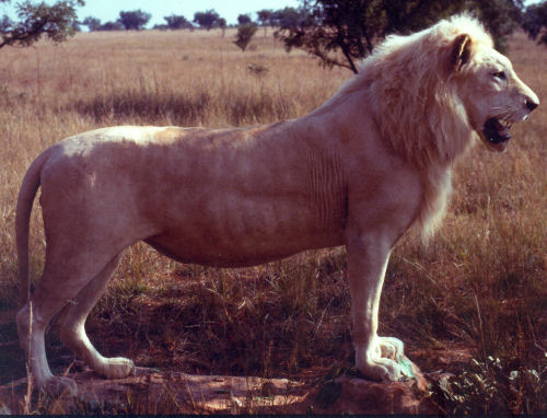 lion hunting trophy, lion taxidermy