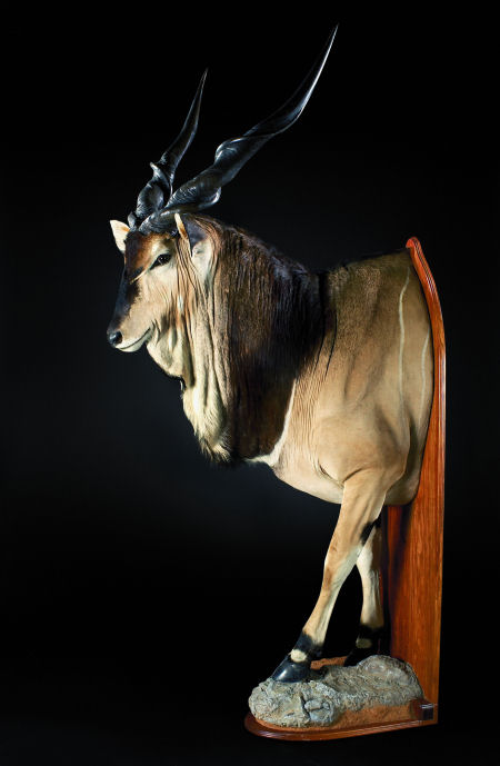 Giant Antelope Hunter Trophy | Giant Antelope Taxidermy Wall Mounts - South Africa | Taxidermy For The Hunting Enthusiast