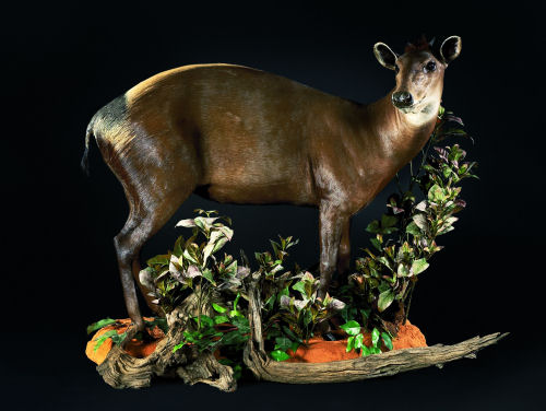 Buck Hunter Trophy | Buck Taxidermy Wall Mounts - South Africa | Taxidermy For The Hunting Enthusiast